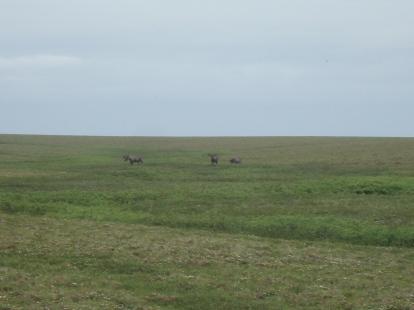 Three bull moose on top of Sagwon Bluff