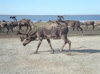A bull caribou in the oilfield