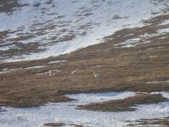 Dall sheep in Atigun Pass